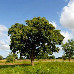 8685395 - karitè tree